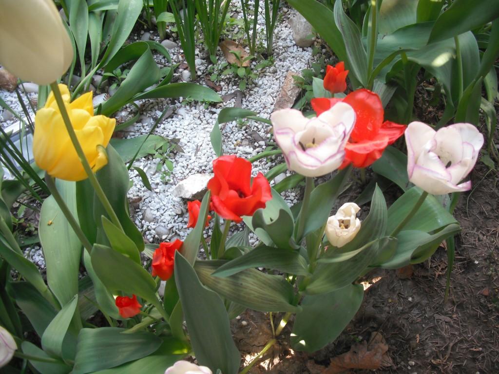 Tulipani colorati, vita nella vita..