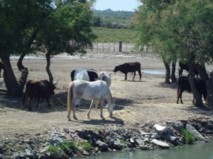 Cavalli e tori della Camargue